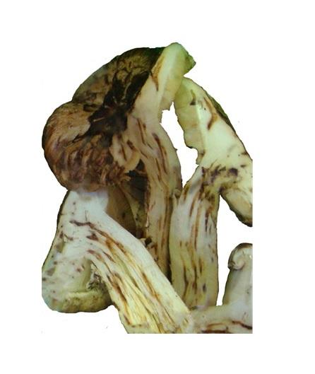 丹波松茸「つぼみ」約350g前後